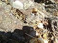 Mammillaria supertexta (5758469217).jpg