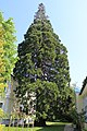 Mammutbaum, Helenenstraße Baden 01.jpg