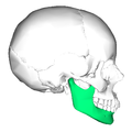 Mandible lateral.png