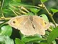 Maniola jurtina ♀ - Meadow brown (female) - Воловий глаз (самка) (39355666120).jpg