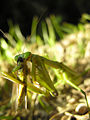 Mantis eating locust DSCN9767.jpg