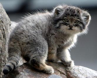 Pallas's cat - Manul kitten in Parken Zoo, Sweden