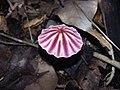 Marasmius tageticolor Berk 738140.jpg