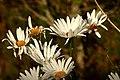 Margarita (Leucanthemum maximum) (15318911540).jpg