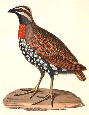Madagascan partridge - Image: Margaroperdix madagarensis 1838