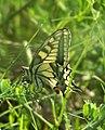 Mariposa desovando - butterfly laying eggs (249922840).jpg