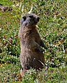 Marmot in Switzerland.jpg