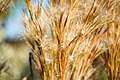Marsh Grass (237189141).jpeg
