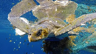 Olive ridley sea turtle - Olive ridley entangled in a ghost net within the Maldives