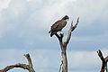 Martial Eagle (Polemaetus bellicosus) (16104231953).jpg