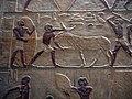 Mastaba de Ti - mula terca.JPG