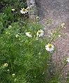 Matricaria chamomilla plant (14).jpg