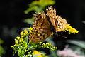 May be Damora sagana, a member of Brushfooted Butterflies (Family Nymphalidae) (15279881544).jpg