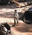 Meerkats (3616804105).jpg