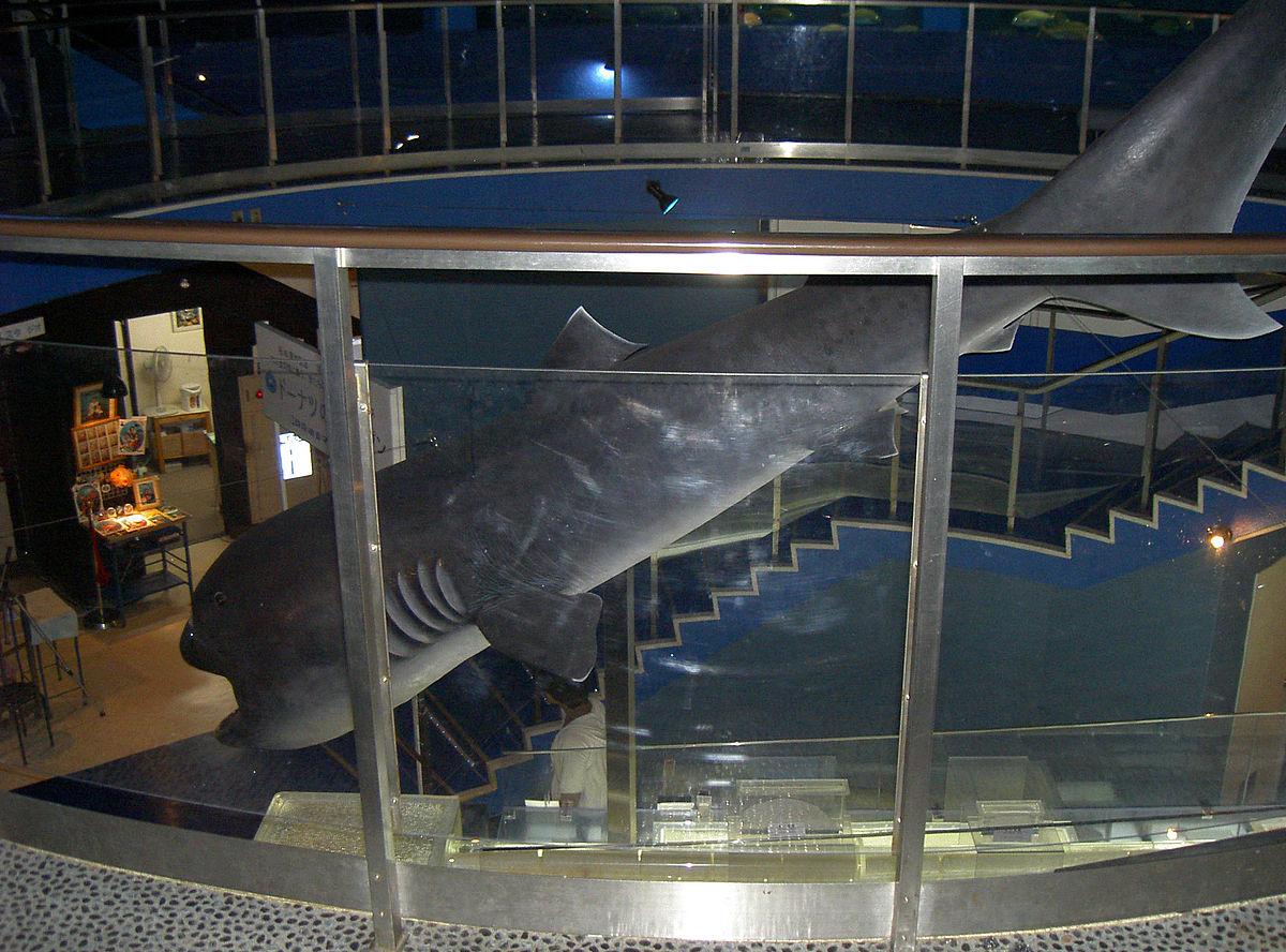 Mega mouth shark specimen.jpg