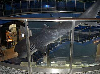 巨口鯊。(圖片來源:維基百科)