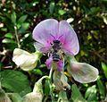 Megachile ericetorum, male - Flickr - gailhampshire.jpg