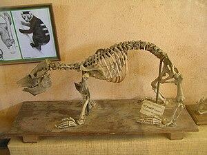 Megaladapis grandidieri in the Grandidier Fund