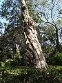 Melaleuca leucadendron (2206486327).jpg