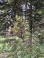 Melampsorella caryophyllacearum3.jpg