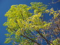 Melia azedarach Dharamsala.jpg