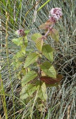 Mentha aquatica - Plant in flower