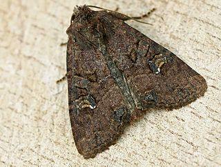 <i>Mesapamea secalis</i> Species of moth