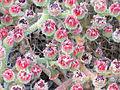 Mesembryanthemum crystallinum Enfoque 2011-7-03 LagunadelaMata.jpg