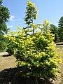 Metasequoia glyptostroboides 'Golden Oji' (28726423661).jpg