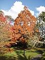 Metasequoia glyptostroboides Hu and W.C.Cheng (AM AK209566-1).jpg
