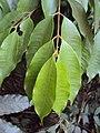 Meteoromyrtus wynaadensis 25.JPG