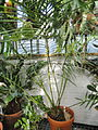 Microcycas calocoma - Lyman Plant House, Smith College - DSC04283.JPG
