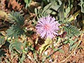 Mimosa pudica inflorescence.jpg