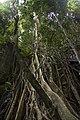 Minnamurra Rainforest - panoramio (31).jpg