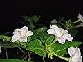 Mirabilis jalapa, 4 o'clock plant; Bengali name- সন্ধ্যামালতী .jpg