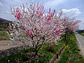 Mix peach blossoms (源平しだれ桃) - panoramio.jpg