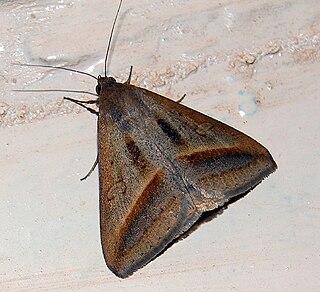 <i>Mocis frugalis</i> Species of moth