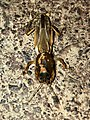 Mole cricket on the ground - 1.jpg