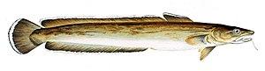 Common ling - Image: Molva molva Gervais