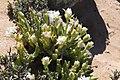 Monilaria cf scutata ssp. obovata (Aizoaceae) (37434750801).jpg