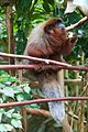 Monkey at Chester Zoo 2.jpg