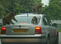 Monkeys on a car.jpg