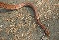 Montane Trinket Snake Coelognathus helena monticollaris by Dr. Raju Kasambe DSCN5610 (6).jpg