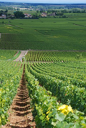 Puligny-Montrachet wine - Vineyards in the southern part of Puligny-Montrachet. Chevalier-Montrachet is in the foreground, Montrachet is center-right, followed by Bâtard-Montrachet and (on the left) Bienvenues-Bâtard-Montrachet. Center-left, a small part of Le Cailleret is visible, and in the distance (in front of the buildings) are some village-level vineyards.