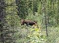 Moose on the Move (74f79759-bcee-4dde-b0cc-95949c525485).jpg