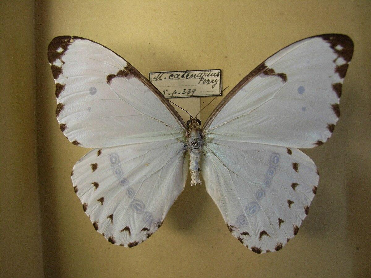 Posterlounge Wandbild - Frederick Polydor Nodder »Schmetterling ...