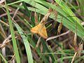 Moth unknown.jpg