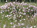 Mound of small pink flowers.JPG
