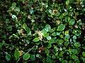 Muehlenbeckia axillaris 2017-09-26 4493.jpg