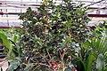 Murraya paniculata Lakeview 8zz.jpg